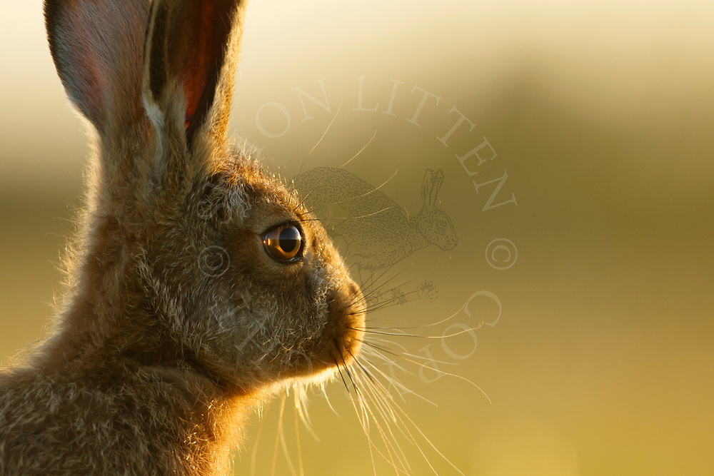 European Hare (Lepus europaeus) juvenile, close up of head, South Norfolk, UK. May.