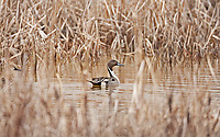 A Northern Pintail duck swims in a small pond surrounded by cattails.