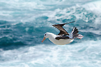 Black-browed albatross hovering in strong winds on New Island in the West Falkland Islands.
