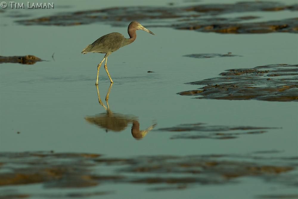 A Little Blue Heron (Egretta caerulea) foraging during low tide in the Orinoco River Delta, Venezuela.