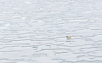 A Polar Bear (Ursus maritimus) waits by a seal hole in the ice for its next meal.  Storfjorden, Svalbard, Norway.