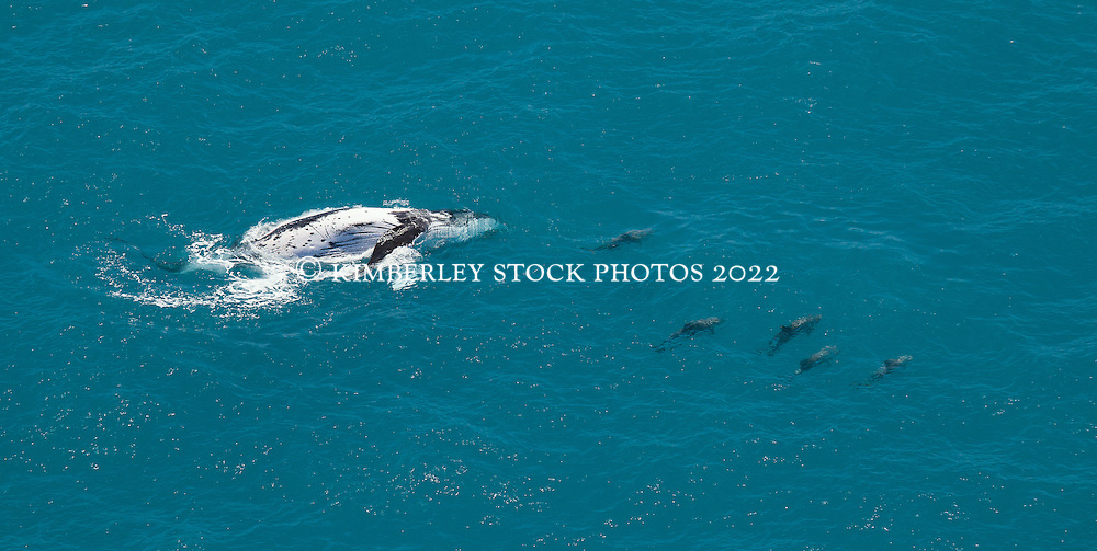 A humpback whale and pod of dolphins swimming off Willie Creek north of Broome.  Ex Senator Bob Brown flew over the area and sighted 7 pods of whales in a 45 minute flight.  This whale was accompanied by a pod of thirteen dolphins. The animals appear to be feeding in the area.