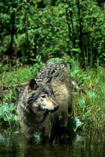 Gray Wolf, (Canis lupus) Portrait of wolf hunting around beaver pond. Montana.   Captive Animal.
