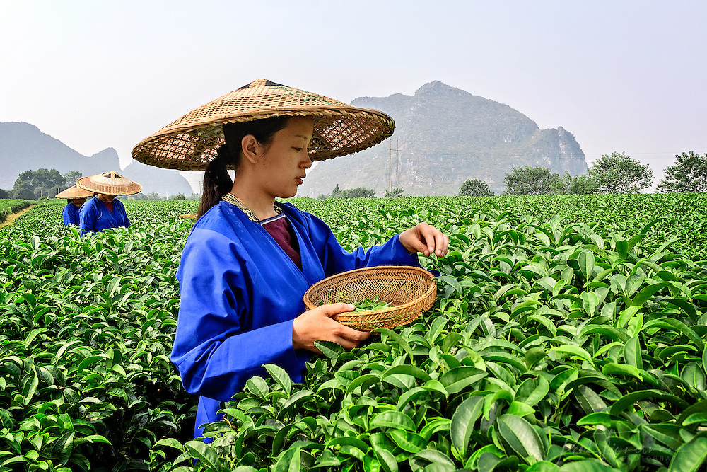 Girls are picking tea leaves.