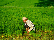 "21 NOVEMBER 2017 - MAUBIN, AYEYARWADY REGION, MYANMAR:  A worker picks baby rice to transplant to a paddy where it will grow to maturity in the Ayeyarwady  Delta. Myanmar is the world's sixth largest rice producer and more than half of Myanmar's arable land is used for rice cultivation. The Ayeyarwady Delta is the most important rice growing region and is sometimes called ""Myanmar's Granary."" The UN Food and Agriculture Organization (FAO) is predicting that the 2017 harvest will increase over 2016 and that exports will surge to 1.8 million tonnes.  PHOTO BY JACK KURTZ"