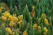 young forest with Douglas Fir and Vine Maple autumn