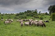 Een kudde Konikspaarden in het natuurgebied de Ooijpolder bij Nijmegen.<br /> <br /> A herd of Konik horses in the Ooijpolder near Nijmegen.