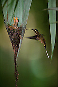 Eastern Long-tailed Hermit (Phaethornis superciliosus) at nest.<br /> Surama<br /> Rainforest<br /> GUYANA. South America<br /> RANGE: Venezuela, the Guianas, and north-eastern Brazil