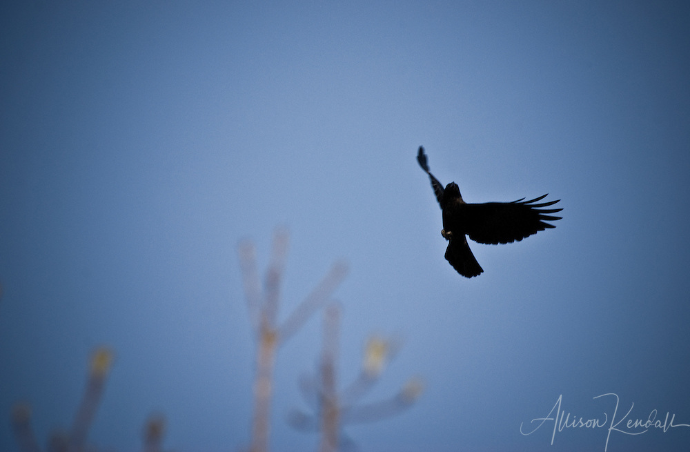 Wing feathers outspread, a crow flies above the bare branches of late winter.