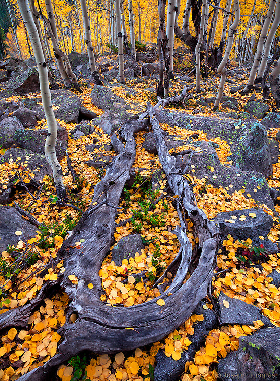 When I came across this area on the side of a mountain in the Raggeds Wilderness, I knew I had found someplace special. The mixture of aspen forest and dark, lichen-covered boulders is not commonplace so I decided to explore the area thoroughly. Soon I was rewarded with yet another unusual element: the twisted and craggy remnants of a double trunked aspen tree to anchor the composition. A fresh carpet of newly fallen leaves added the final magical ingredient to this enchanting scene.