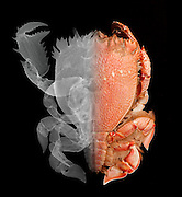 X-ray and optical image of a Deep Water Crab.  The left side of the image is an X-ray, while the right side is a visible light photograph.