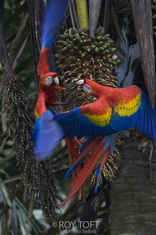 Scarlet Macaws, Osa Peninsula, Costa Rica