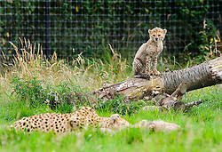 © Licensed to Whipsnade News Pictures. 29/08/2012 Whipsnade, UK. Twelve week old Northern Cheetah cubs with their mother, Dubai who gave birth to a litter of seven in May 2012. The playful youngsters have spent their first weeks behind the scenes but can now venture out on public view at Whipsnade Zoo's Cheetah Rock enclosure. The septuplets birth comes two years after Dubai gave birth to her first cubs, which were the first litter of Northern cheetah cubs ever born in the UK..Photo credit : Simon Jacobs/LNP