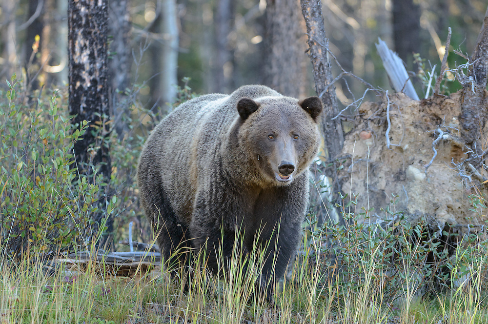 Grizzly Bear Sow - Ursus arctos - Northern Rockies