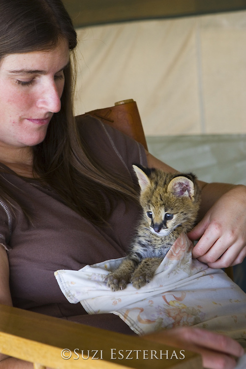 Serval<br /> Felis serval<br /> Five week old orphan serval kitten in kangaroo pouch (used to increase emotional bond with foster parent Suzi Eszterhas/Photographer)<br /> Tanzania