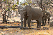 Two male African Bush Elephants. Photographed at Lake Kariba, Zimbabwe