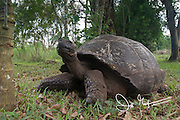 A Galapagos Giant tortoise rests near an agricultural fence in the Santa Cruz highlands.