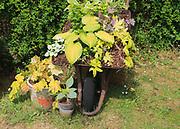 Wheelbarrow display of garden plants, Suffolk, England, UK