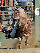Byron Hetzler/Sky-Hi News.Kody Dowes attempts to hold on to complete his ride during the junior bull riding at the first Flying Heels Buck-a-Roo Rodeo of the season on Saturday in Granby.  The next rodeo will be June 12 with the Buck-a-Roo events at 3 p.m. and the open rodeo at 7 p.m.