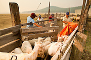 "05 JUNE 2011 - GREER, AZ: Abel Sandoval (CQ ORANGE CLOTH) and Ricardo Toribio (CQ BLUE SHIRT) drive sheep through the pens at the Sheep Springs Sheep Co summer shearing camp northwest of Greer Sunday. Mark Pedersen (CQ), of Sheep Springs Sheep Co, said they drove about 2,000 sheep from Chandler up to their summer pastures near Greer. They were supposed to start shearing on Friday, but didn't start till Friday because of the Wallow Fire. They also run cattle on land southeast of the sheep pasture, closer to Greer. Pedersen said they were prepared to move both the cattle and the sheep if they had to. He said the biggest problem with the smoke was that it bothered the sheeps' lungs much the same way it bother people's lungs. The fire grew to more than 180,000 acres by Sunday with zero containment. A ""Type I"" incident command team has taken command of the fire.   PHOTO BY JACK KURTZ"