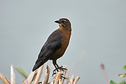 Female Great-tailed Grackle (Quiscalus mexicanus) foraging along edge of  Lake Chapala, Jocotopec, Jalisco, Mexico