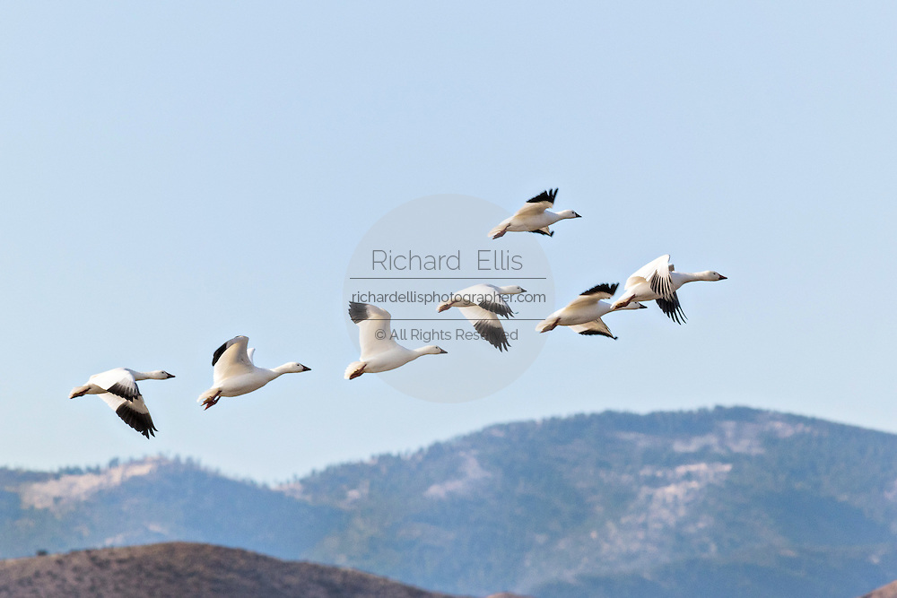 A flock of snow geese in flight at their winter home at the Bosque del Apache National Wildlife Refuge in San Antonio, New Mexico. About 32,000 snow geese overwinter at the refugee and move in mass during the morning and evenings.