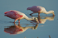 Roseate Spoonbills (Ajaia ajaja).  Everglades National Park, Eco Pond..Florida, USA.