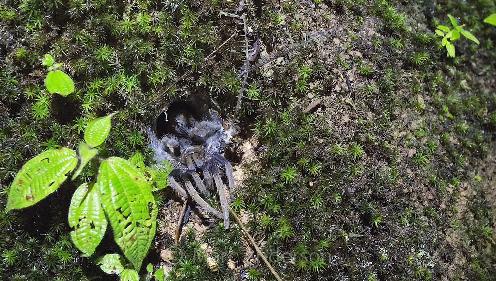 Female Coremiocnemis Purple Femur Tarantula in her nest, Fraser's Hill, Malaysia