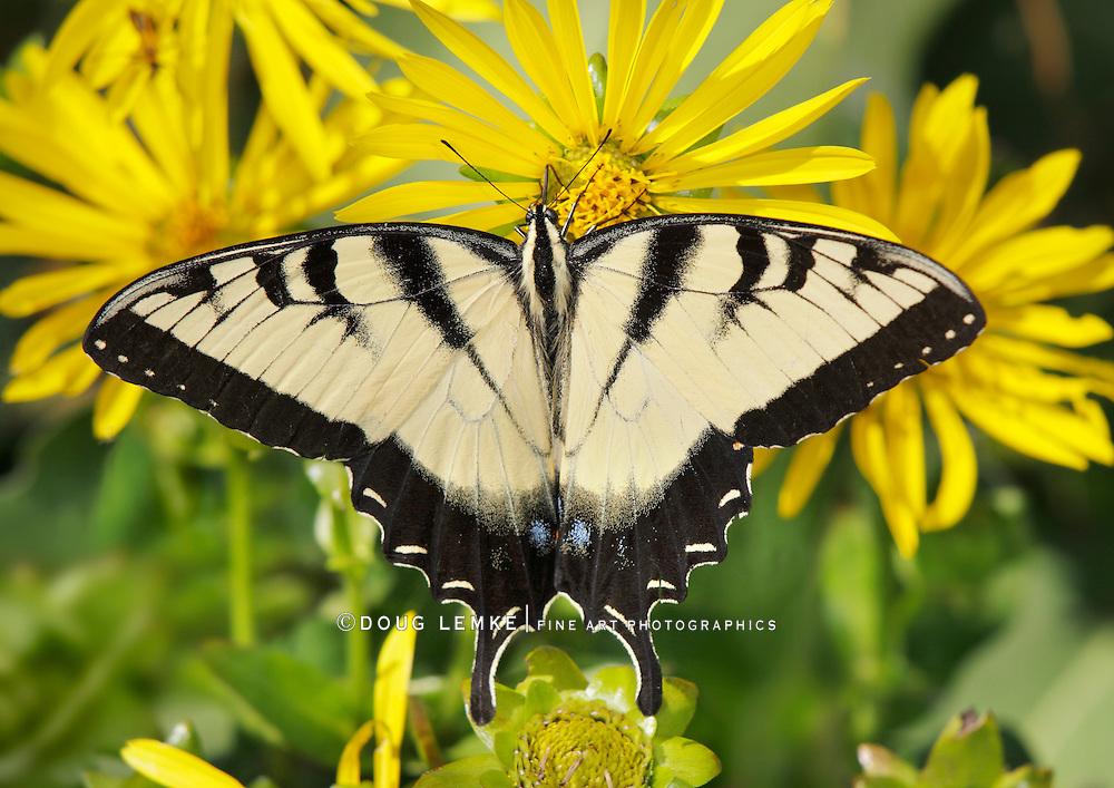 Eastern Tiger Swallowtail Butterfly On A Compass Flower, Papilio glaucus Linnaeus