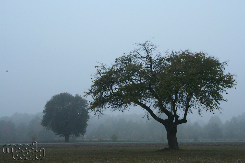 Tree on meadow - foggy weather