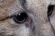 Juvenile female cougar (Felis Concolor) eye detail. Range: North America - Canada south to South America. Captive, Montana.