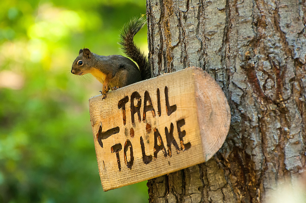 A Douglas' squirrel was kind enough to show me the way as I was hiking trough some trails near Lake Wenatchee, a large lake in Washington's Cascade Mountain Range.
