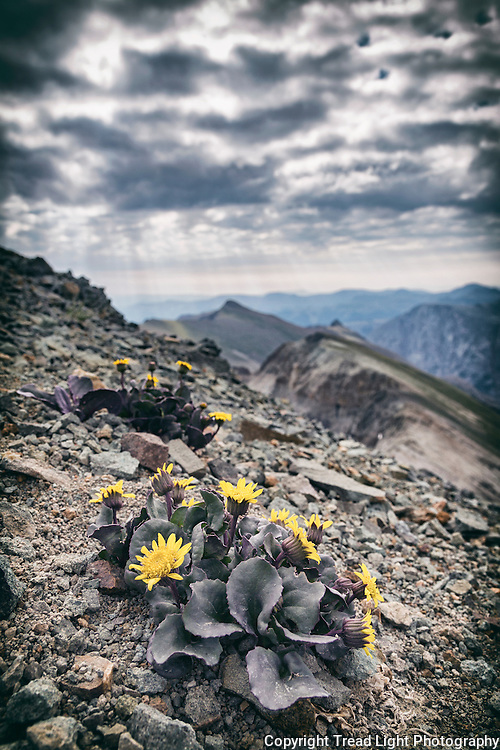 Wildflowers on the summit of Mt. Handies in the San Juan range of the Colorado Rockies.