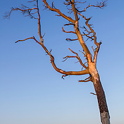 Lone Dead Tree on Greenlaw Moor, part of the Lammermuir Hills in the Scottish Borders