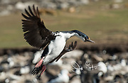 Imperial shag or cormorant in flight over a large colony of birds on Saunders Island, Falklands.
