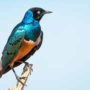 A Superb Starling, with its bright, shimmering plumage, sits on a branch at Tarangire National Park in northern Tanzania not far from Ngorongoro Crater and the Serengeti.