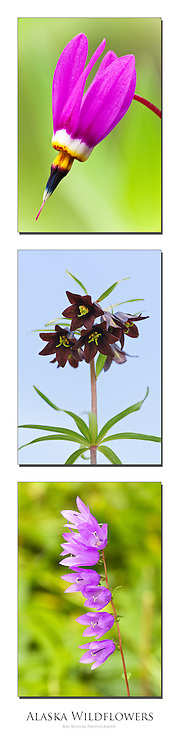 Triptych of Shooting Star, Chocolate Lily, and Common Harebell found in Southcentral Alaska.