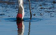 Eurasian Crane (Grus grus) feeding in the shallow water of Lake Hornborga, Sweden.