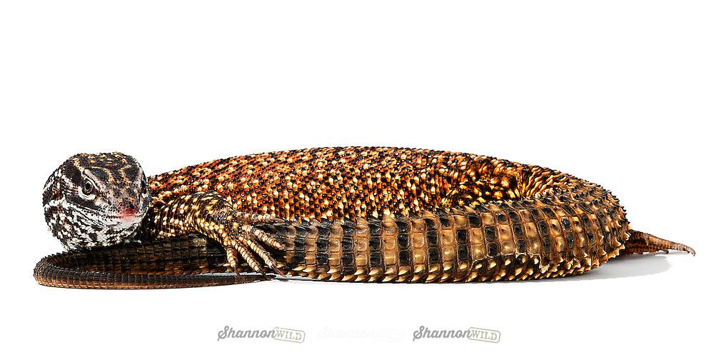 Ridge-tail Monitor (Varanus acanthurus), also known as the Spiny-tailed Monitor, native to Australia.