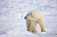 01874-109.05 Polar Bear (Ursus maritimus) near Hudson Bay, Churchill  MB, Canada
