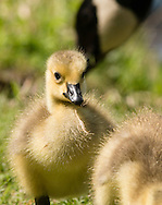 Middletown, New York - A Canada goose gosling feeds at Fancher-Davidge Park on May 10, 2015.
