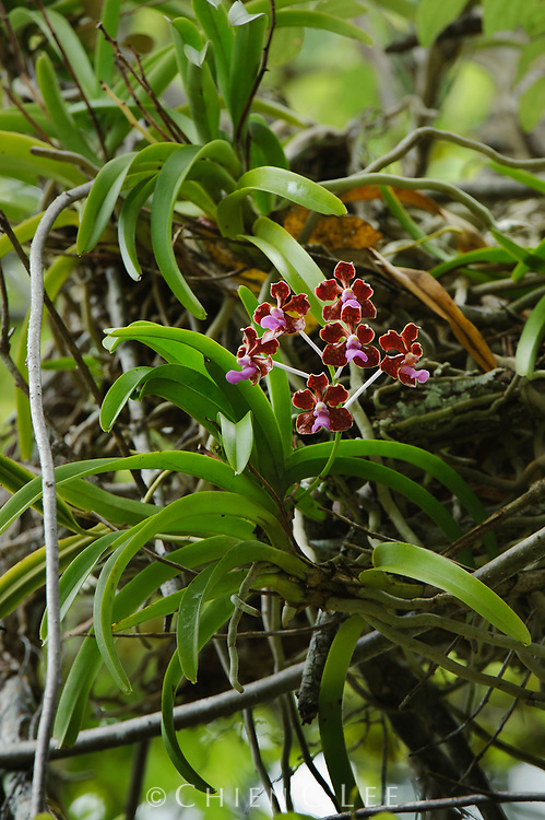 Epiphytic orchid (Vanda limbata)