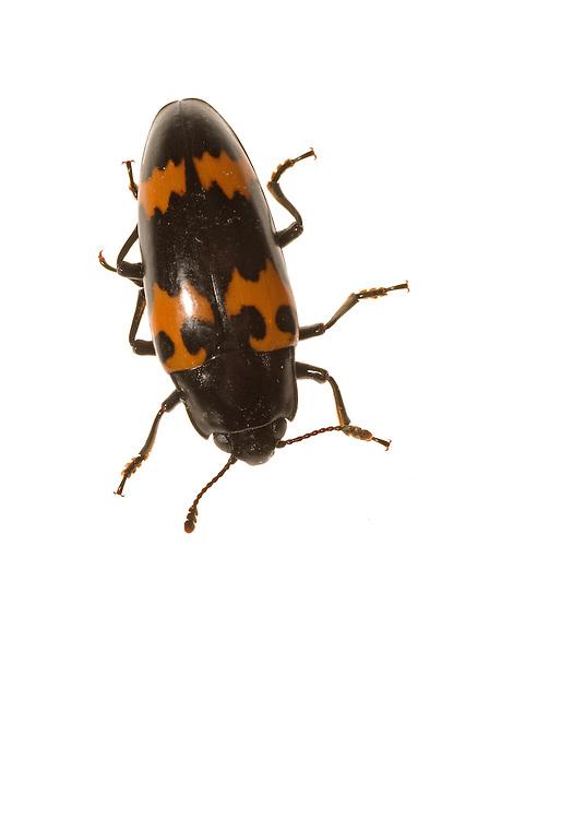 Pleasing Fungus Beetle (Megalodacne fasciata)
