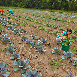 Farmhands Tom Crimer, Emily Chiara, and Leah Visconti pull weeds in a field of vegetables at the Crimson and Clover Farm in Northampton, Massachusetts.