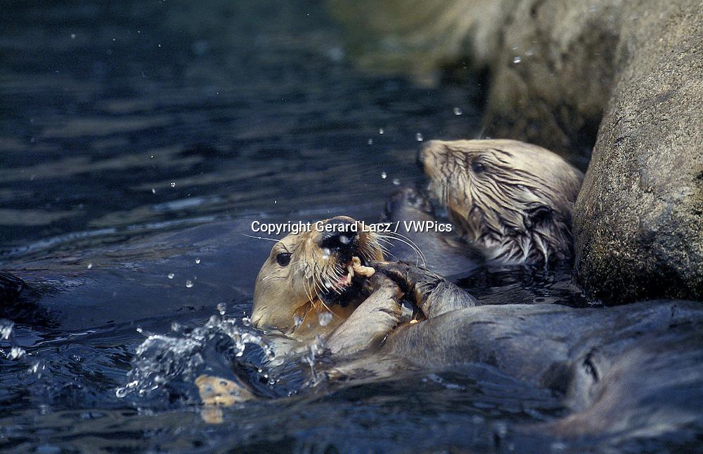 Sea Otter, enhydra lutris, Adult Eating Fish