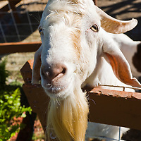 Goat in farmyard, Broward County, Florida USA