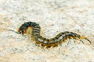 Florida Blue Centipede (Hemiscolopendra marginata)<br /> United States: Alabama: Tuscaloosa Co.<br /> Tulip Tree Springs off Echola Rd.; Elrod<br /> 16-Jun-2016<br /> J.C. Abbott #2833 &amp; K.K. Abbott