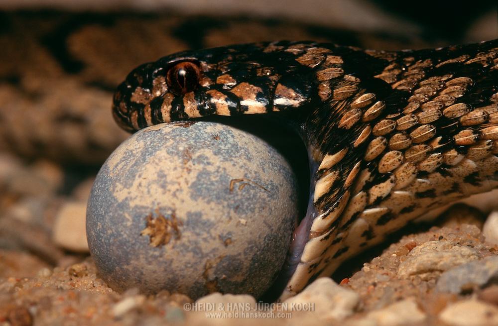 DEU, Deutschland: Schlange, Afrikanische Eierschlange (Gattung: Dasypeltis), frisst ein Vogelei, beginnt das Ei zu Schlucken | DEU, Germany: Snake, African Eggeater (Genus: Dasypeltis), feeding on a bird egg, starting swallowing the egg |