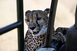 NAMIBIA WINDHOEK 4MAY14 - A cheetah glances into an open vehicle at the Duesternbrook guest farm near Windhoek, Namibia.<br /> <br /> D&uuml;sternbrook is the first and oldest guest farm in Namibia, located just north of Windhoek and offers Cheetah and Leopard game drives.<br /> <br /> <br /> <br /> jre/Photo by Jiri Rezac<br /> <br /> <br /> <br /> &copy; Jiri Rezac 2014