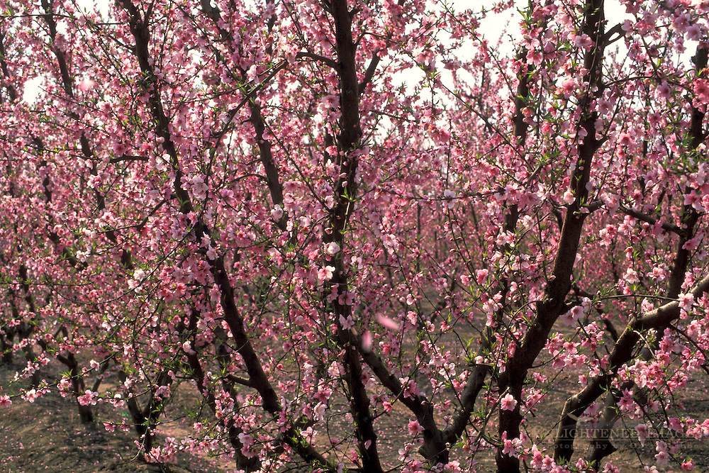Peach tree pink flower blossoms in spring orchard on farm along the Blossom Trail, Fresno County, Caliifornia